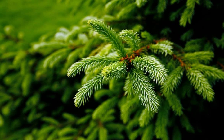 Tannenbaumzweige aus der Nahaufnahme